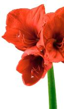 Each flower meaning for Signification amaryllis