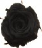 rose-preserved-black