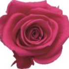 rose-preserved-dark-pink
