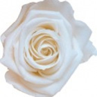 rose-preserved-white