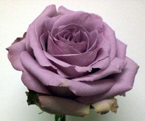 Ecudorion rose