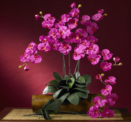 Phalaenopsis Stem Cream  Beauty