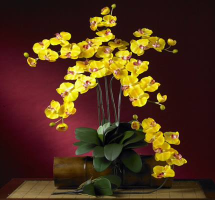 Phalaenopsis Stem Yellow