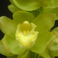 Cymbidium Mint Ice
