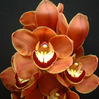 Cymbidium Rust