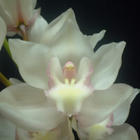 Cymbidium Snow Castle