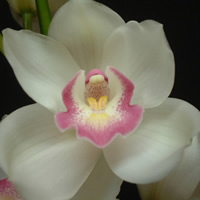 Cymbidium Vergin