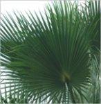 Palm preserved washingtonia