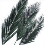 preserved phoenix palm