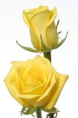 Rose yellow unique