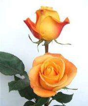 Rose Vodoo