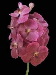 orchids species Vanda Brown