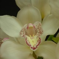 Cymbidium Baltic Snow Molly