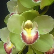 Cymbidium Peppermint