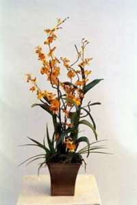 Dancing lady orchids in metal container
