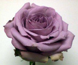 Ecudorian rose