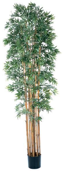 Bamboo Japanica