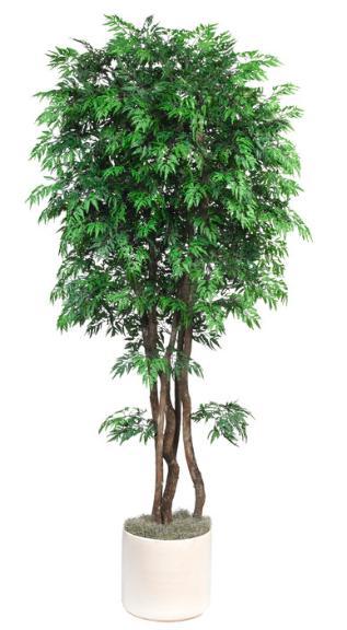 Ming Tree Aralia
