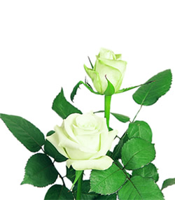White Rose, Akito