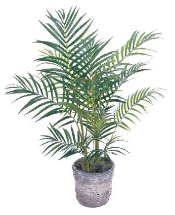 Areca Palm 3 inch
