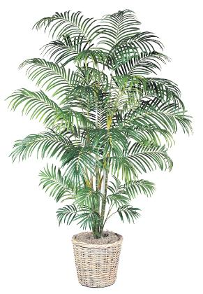 Areca Palm 8 inch