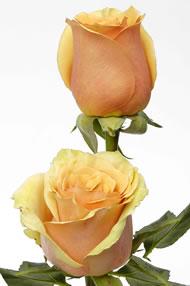 Rose Azafran