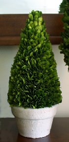 Boxwood topiary cone