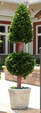 Preserved boxwood topiary double. Cone and ball
