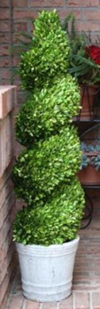 Boxwood topiary spiral