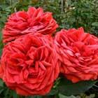 Rabelais Garden Rose