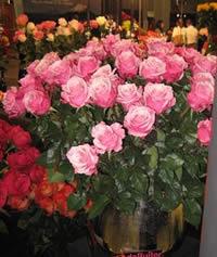 Two tone roses, lavander white