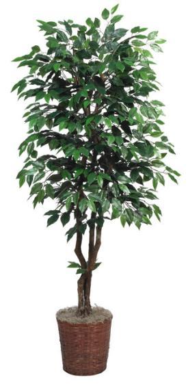 Ficus Tree Deluxe