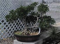 Bonsai tree specimen