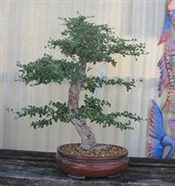 Bonsai tree art