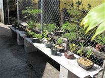 Bonsai trees for sale in Ft lauderdale Fl