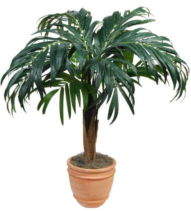 Kentia Palm 72 inch