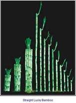 Lucky Bamboo Straight