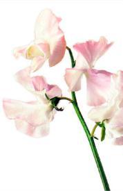 Sweetpea flower
