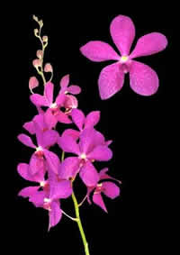 orchids species mokara Anne Kool