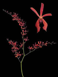 orchids species mokara Anny Back
