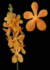 orchids species mokara Aomway Orange