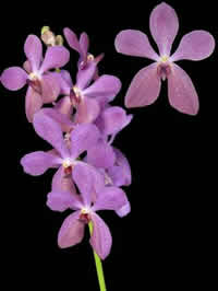 orchids species mokara Mokara Blue