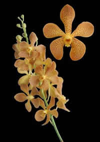 orchids species mokara Brown