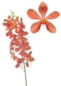 orchids species mokara blue