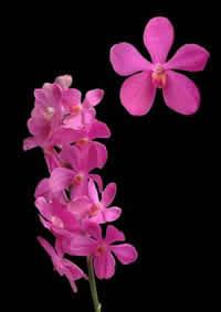orchids species mokara Mokara Calypso Jumbo
