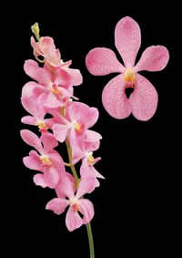 orchids species mokara Cherk Kuan Pink