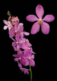 orchids species mokara Cristin Warayut 1