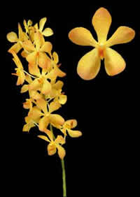 orchids species mokara daungpon