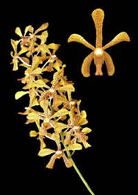 orchids species mokara Madame Panini
