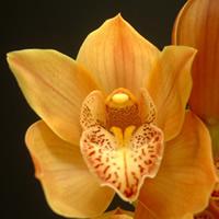 Cymbidium orchid apricot
